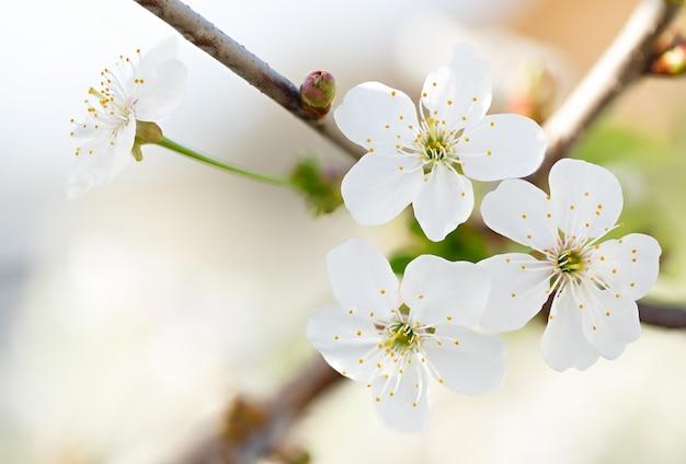 Flores de árvore frutífera em flor no jardim