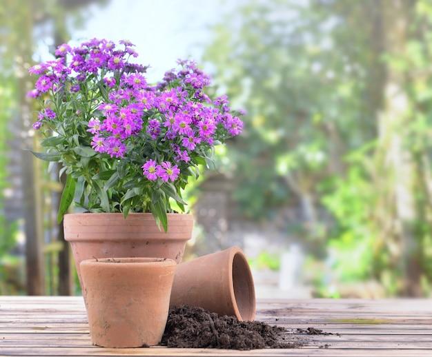 Flores de áster desabrochando em um vaso de flores em uma mesa no jardim