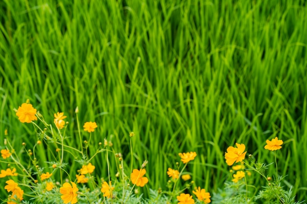 Flores de áster mexicano contra fundo de campo de arroz