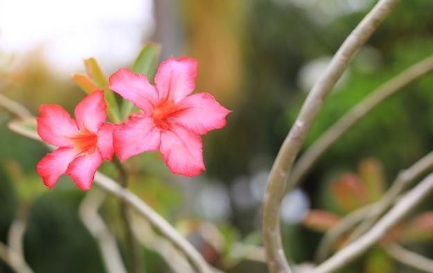 Flores de azaléia rosa no jardim de verão