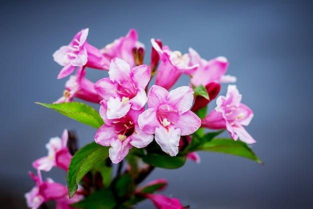 Flores de azaléias em um fundo azul. flores decorativas de primavera e verão_