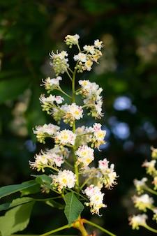 Flores de basswood na árvore com folhagem. flores desabrochando de tília na tília. blossoming teil com detalhe em flores. limão de floração. árvore de whitewood com flores floridas. basswood americano em flor.