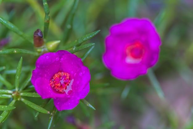 Flores de beldroega comum magenta
