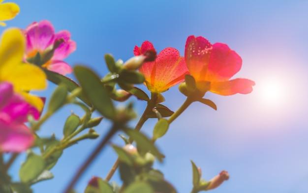 Flores de beldroegas comuns com céu azul e luz solar