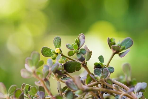 Flores de beldroegas e folhas verdes em fundo natural.