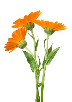 Flores de calêndula de calêndula com folhas isoladas em branco