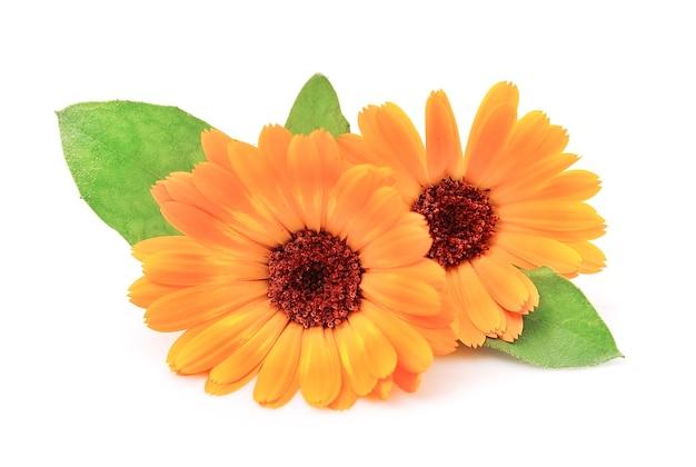 Flores de calêndula em uma parede branca. flores de laranja.