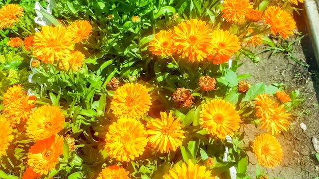 Flores de calêndula laranja com um vento leve em um dia ensolarado, contra um fundo de grama verde. fechar-se.