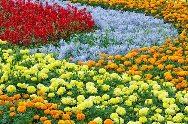 Flores de calêndula laranja e amarelo, planta vermelha scarlet salvia no canteiro de flores de verão.