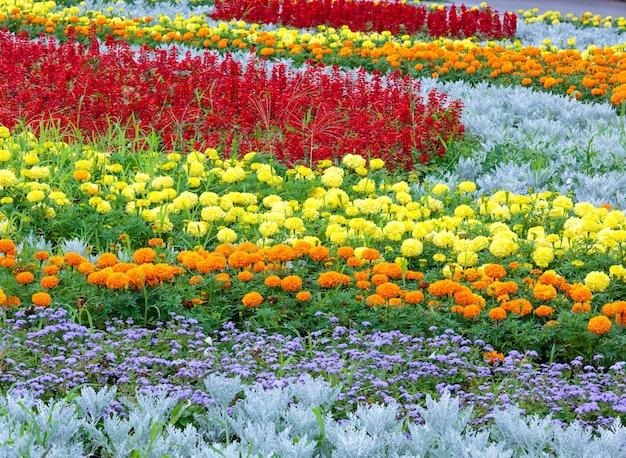 Flores de calêndula laranja e amarelo, planta vermelha scarlet salvia no canteiro de flores.