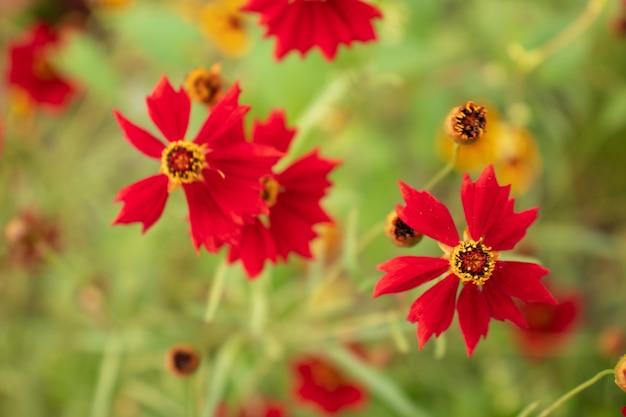 Flores de calêndula no jardim ao sol, close-up com um fundo desfocado, um grande arbusto de calêndula em flor, flores em crescimento