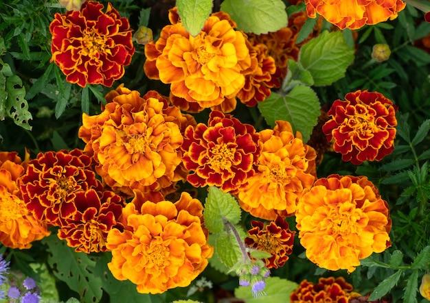 Flores de calêndula no jardim