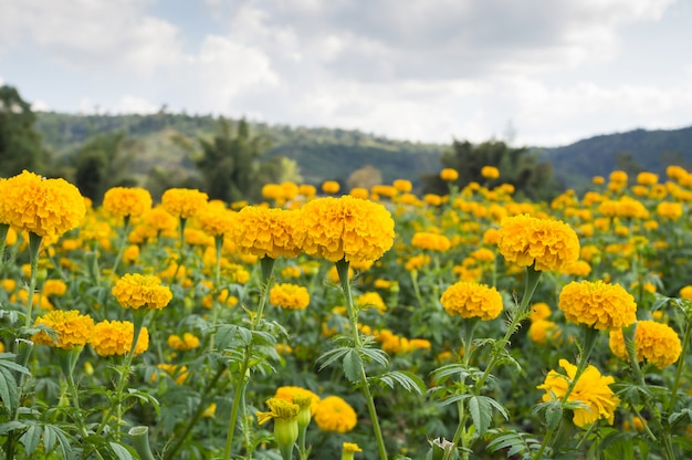 Flores de calêndula no prado na luz do sol com a paisagem da natureza