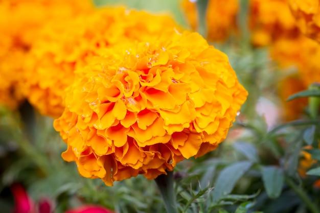 Flores de calêndula no prado no jardim