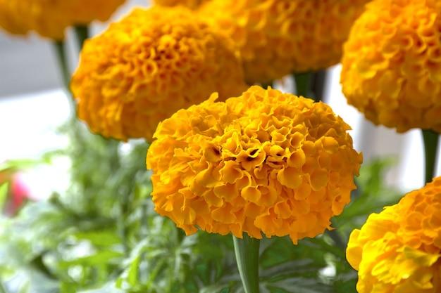 Flores de calêndula ou calêndula mexicana calêndula asteca calêndula africana fundo floral Foto Premium