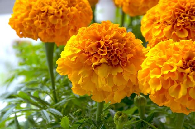 Flores de calêndula ou calêndula mexicana, calêndula asteca, calêndula africana.