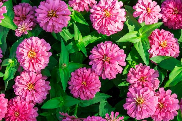 Flores de calêndula rosa
