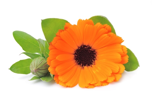 Flores de calêndula simples.