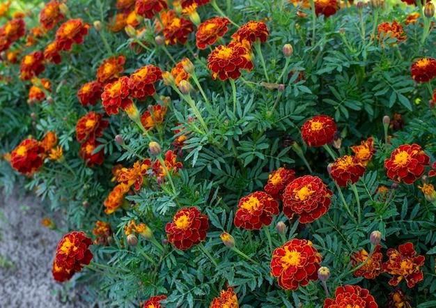 Flores de calêndula vermelha ou calêndula e folhas padrão de fundo no jardim. close-up de flores de calêndula.