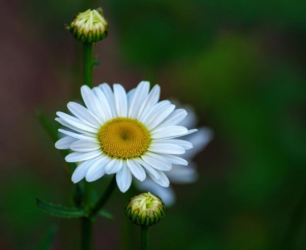 Flores de camomila de flores de verão no prado