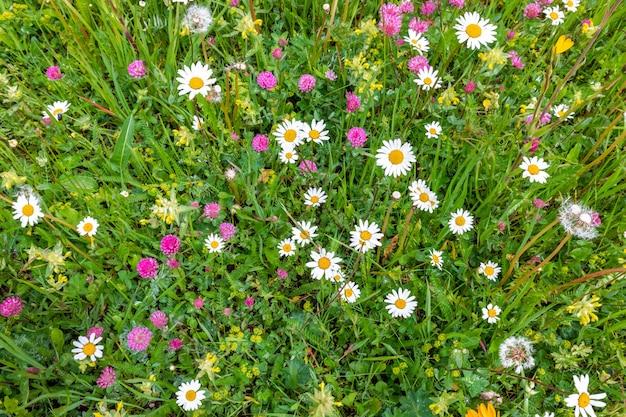 Flores de camomila e trevo selvagem em um prado alpino nas dolomitas italianas