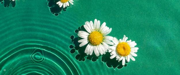 Flores de camomila em água verde sob luz natural. vista superior, configuração plana. bandeira.