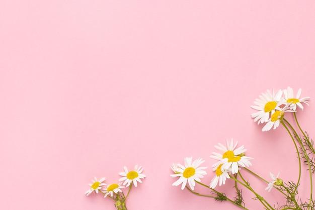 Flores de camomila em fundo rosa fundo de margaridas com cópia espaço verão backgroundchamomila ...