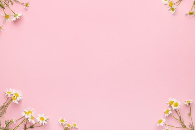 Flores de camomila em fundo rosa. fundo de margaridas com espaço de cópia. plano de fundo do verão. vista superior do campo de camomila Foto Premium