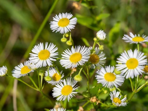 Flores de camomila em fundo verde turva. flores de feltro