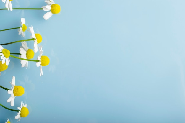 Flores de camomila em um fundo azul.