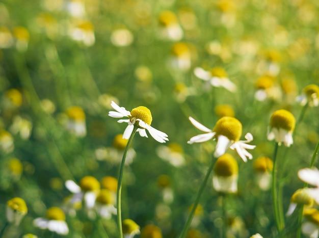 Flores de camomila em um jardim.