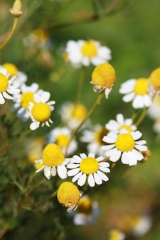 Flores de camomila em um pasto no verão