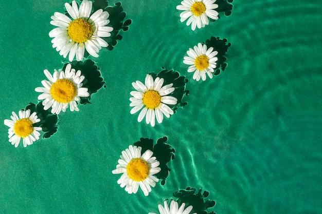 Flores de camomila na água verde sob a luz solar. vista superior, configuração plana.