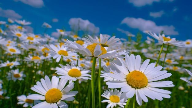 Flores de camomila no campo de verão