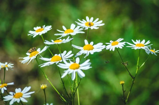 Flores de camomila no campo