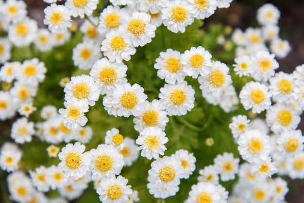 Flores de camomila no jardim com flores borradas no fundo. vista do topo. profundidade superficial de campo. fundo natural.