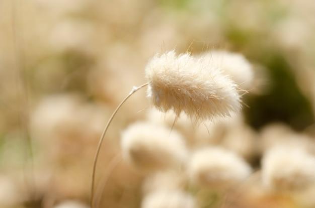 Flores de capim branco com fundo desfocado