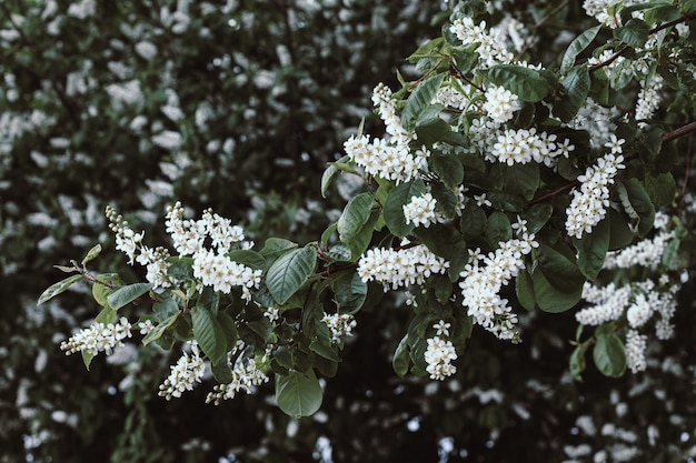Flores de cereja flor de pássaro. primavera de árvore de cereja-pássaro