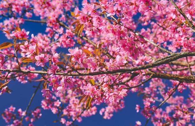 Flores de cereja selvagem do himalaia com luz do sol e céu azul