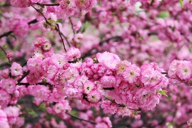 Flores de cerejeira. a primavera chegou.