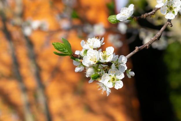 Flores de cerejeira brancas com as primeiras folhas verdes