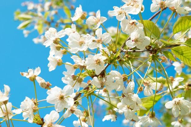 Flores de cerejeira brancas com fundo de céu azul
