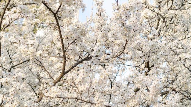 Flores de cerejeira brancas desabrocham na primavera.
