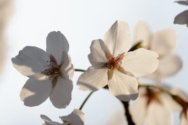 Flores de cerejeira brancas florescendo em uma árvore com fundo desfocado na primavera