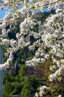 Flores de cerejeira contra um espaço de montanhas verdes