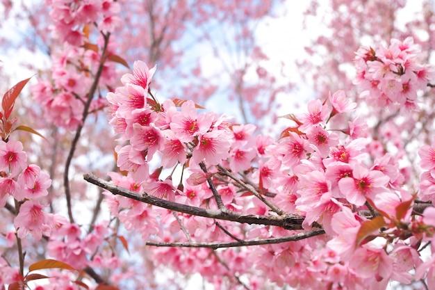 Flores de cerejeira do himalaia selvagem na temporada de primavera, prunus cerasoides, rosa sakura flor