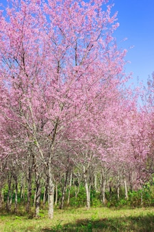 Flores de cerejeira do himalaia selvagem na temporada de primavera (prunus cerasoides), sakura na tailândia