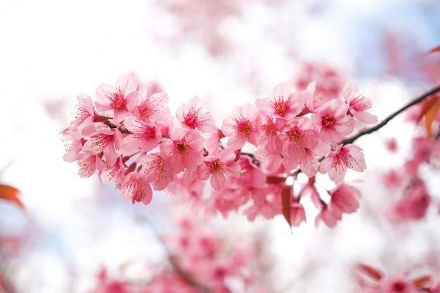 Flores de cerejeira do himalaia selvagens na primavera