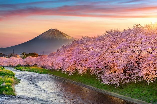 Flores de cerejeira e montanha fuji na primavera ao nascer do sol, shizuoka no japão.