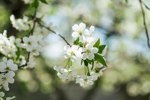 Flores de cerejeira em flor nos galhos das árvores